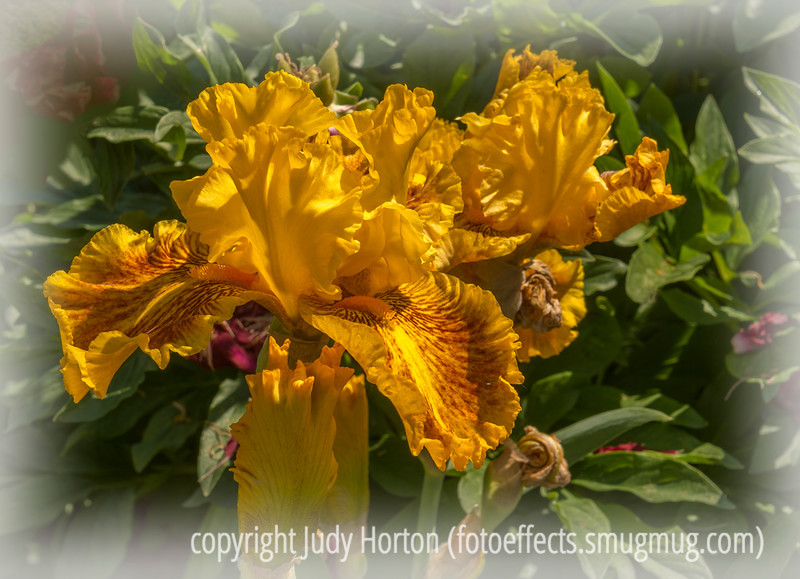 Bearded German Iris - because the bg was so busy, I blurred it a bit and then added a vignette to make it less obvious.