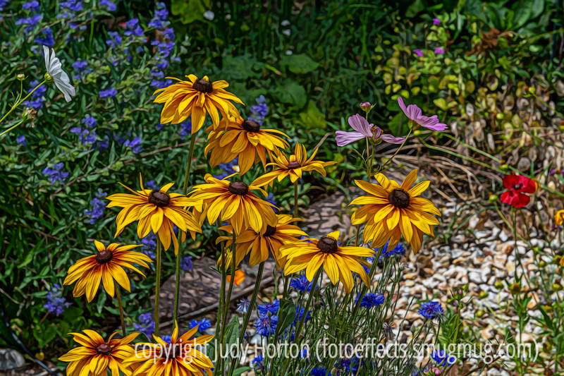 Gloriosa Daisies, Bachelor's Button, Cosmos, and Caryopteris