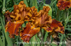 German Iris - they will be blooming in many parts of the country before long.  I can hardly wait!