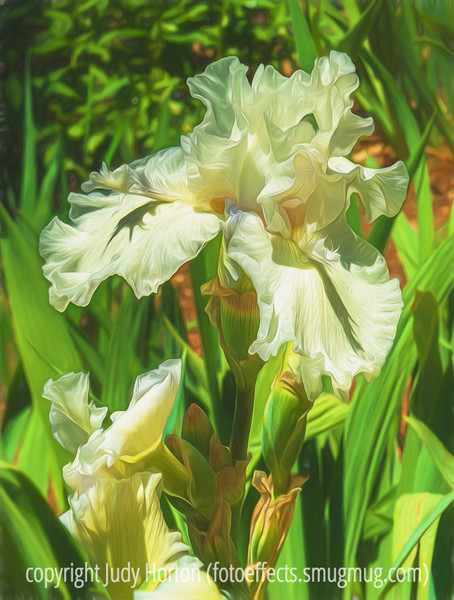 Bearded German Iris