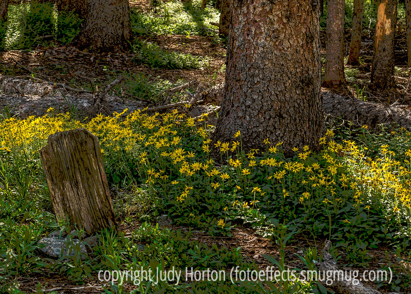 Old Cemetery, Monarch Campground, Colorado - arnica in bloom - another older reprocessed image; this one is a posterized version
