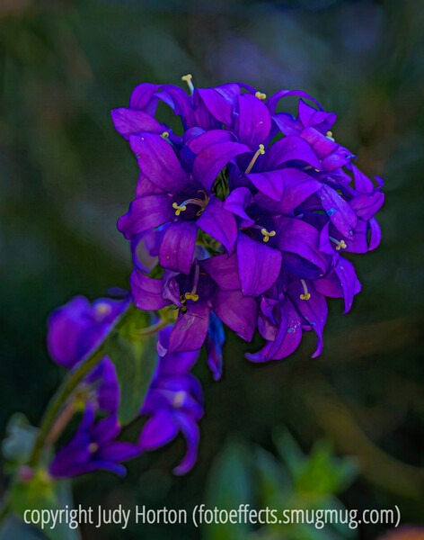 Campanula glomerata, which was still blooming in my garden when the temp dropped to 10 degrees F.