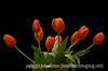 Focus Stacked Tulips - 10 separate shots combined to achieve better dof; the D850 allows you to automatically take the number of images you wish, while automatically changing the dof incrementally for each shot.  Then, you combine all of the images in software, Photoshop or another application.
