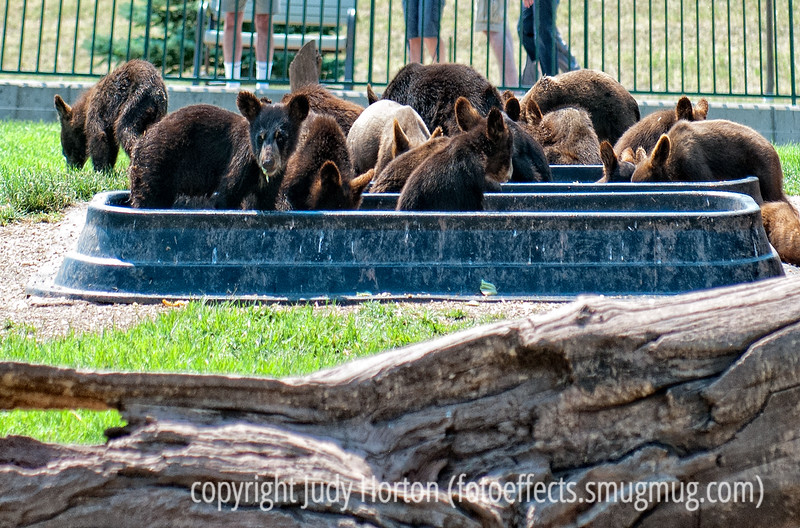 12/1/15 - Bear cubs at Bear Country in SD; best viewed in the largest sizes.  Taken several years ago, but I've been doing some cleaning up of some of my galleries and stumbled across this and realized that you all might get a kick out of seeing this.  These were the baby bear cubs there and they were all kept together.  This is feeding time.  I've forgotten  now the reason why the babies are taken from their mothers; it was a good reason related to the bears being in captivity.  We thought this place would be a rip-off but it was actually really interesting.  You'll never see so many bears, adult and cubs, in a single place at the same time.<br /> <br /> Thanks for your comments on my shot of the flicker.