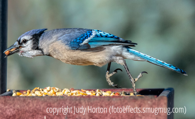 Blue Jay taking off with a load of seeds in its beak; I think I counted it cramming about five large peanuts in there.
