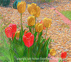 Darwin (the perennial tulip) Tulips - a colored pencil drawing version