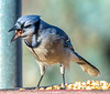 Blue Jay Swallowing a Nut