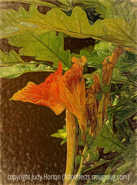 Canna Lily, with drawing effects