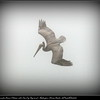 Lunch time for Brown Pelican with Sea Fog (big time)...Redington Shores Beach...©PhotosRUs2008