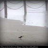 Wison's Plover and Sea Fog (big time)...Redington Shores Beach...©PhotosRUs2008