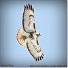 2014-04-27_IMG_7372_Red-tailed hawk