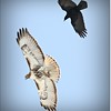 2014-04-27_IMG_7378_Red-tailed hawk