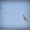 2014-04-27_IMG_7386_Red-tailed hawk