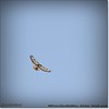 2014-04-27_IMG_7390_Red-tailed hawk