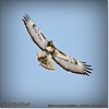 2014-04-27_IMG_7371_Red-tailed hawk