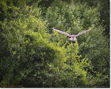 2014-06-12_IMG_1675_Osprey   Sawgrass Park,St Pete,Fl _