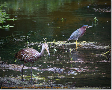 2014-06-12_IMG_1678_Yellow-crowned Night-Heron and Tricolored Heron   Sawgrass Park,St Pete,Fl _