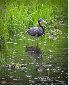 2014-06-12_IMG_1683_Tricolored Heron   Sawgrass Park,St Pete,Fl _