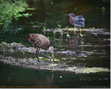 2014-06-12_IMG_1677_Yellow-crowned Night-Heron and Tricolored Heron   Sawgrass Park,St Pete,Fl _