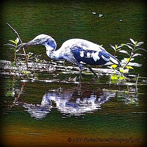 2014-06-12_IMG_1662__Little Blue Heron_Sawgrass