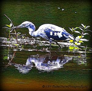 2014-06-12_IMG_1662__Little Blue Heron_Sawgrass