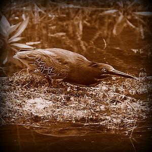 2014-06-12_IMG_1664__Green Heron_Sawgrass