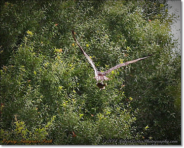 2014-06-12_IMG_1676_Osprey   Sawgrass Park,St Pete,Fl _