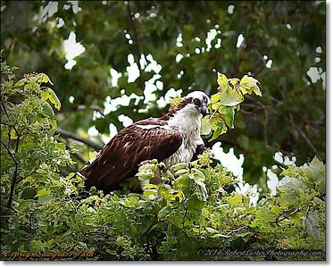 2014-06-12_IMG_1663_Osprey   Sawgrass Park,St Pete,Fl _