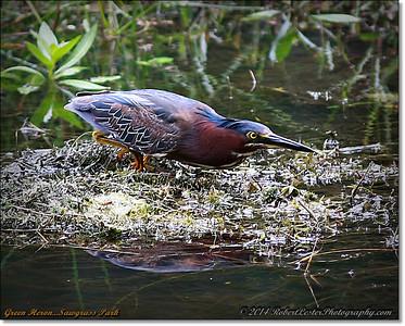 2014-06-12_IMG_1664_Green Heron   Sawgrass Park,St Pete,Fl _