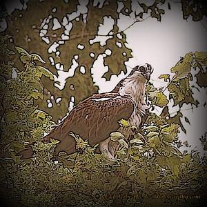 2014-06-12_IMG_1658__Osprey_Sawgrass