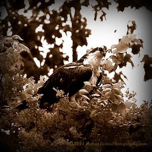 2014-06-12_IMG_1657__Osprey_Sawgrass