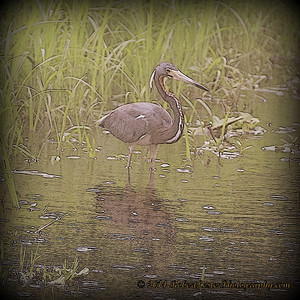 2014-06-12_IMG_1683__Tricolored Heron_Sawgrass