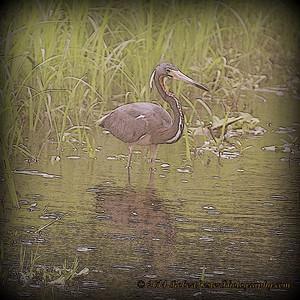 2014-06-12_IMG_1683__Tricolored Heron_Sawgrass