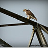 2014-07-26_IMG_0975__Red-tailed hawk