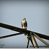 2014-07-26_IMG_0919__Red-tailed hawk