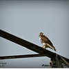 2014-07-26_IMG_0977__Red-tailed hawk