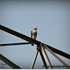 2014-07-26_IMG_0911__Red-tailed hawk