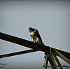 2014-07-26_IMG_0944__Red-tailed hawk