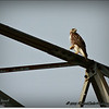2014-07-26_IMG_0971__Red-tailed hawk