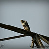 2014-07-26_IMG_0942__Red-tailed hawk