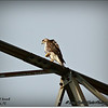 2014-07-26_IMG_0972__Red-tailed hawk