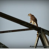 2014-07-26_IMG_0967__Red-tailed hawk