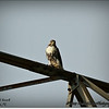 2014-07-26_IMG_0946__Red-tailed hawk