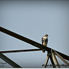2014-07-26_IMG_0913__Red-tailed hawk