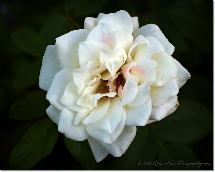 2014-07-31_IMG_2945_My roses