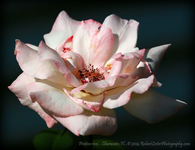 Pristine rose....Clearwater,Fl...© 2014 RobertLesterPhotography.com