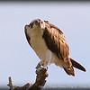 Osprey......Weedon Preserve,St.Pete,Fl.      © 2014 RobertLesterPhotography