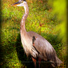 Great Blue Heron....Clearwater,Fl      © 2014 RobertLesterPhotography.com