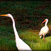 Great Egret +White Ibis....Clearwater,Fl      © 2014 RobertLesterPhotography.com