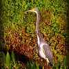 Tricolored  Heron....Clearwater,Fl      © 2014 RobertLesterPhotography.com